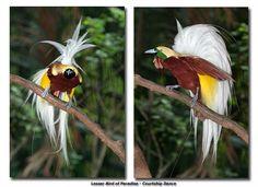 Lesser Bird of Paradise  Jurong Birdpark, Singapore   ❤ ღ(。◕‿◕。)ღ ❤