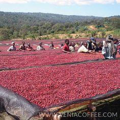 Sidamo in Ethiopia Coffee Farm My favorite coffee variety