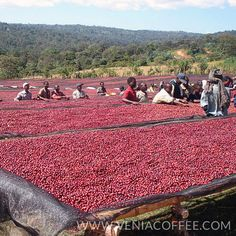 Sidamo in Ethiopia  Coffee Farm  My favorite coffee variety