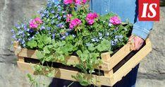 Mitkä kukat pärjäävät auringossa, mitkä varjossa? 30 vinkkiä kesäkukkaostoksille - Asuminen - Ilta-Sanomat