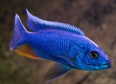 Sciaenochromis fryeri, aka Electric Blue Ahli Cichlid and is also a Haplochromis. They are an essential to any larger African Cichlid aquariums. I too got these from a buddy of mine. I got them as fry and kept the best male & 3 females.