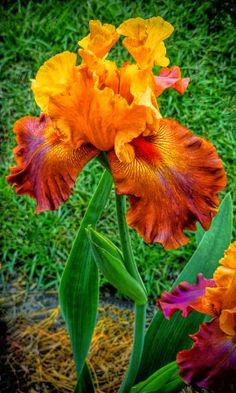 """Bearded Lady"" Iris Beautiful gorgeous pretty flowers in orange and red Iris Flowers, Exotic Flowers, Amazing Flowers, Planting Flowers, Beautiful Flowers, Beautiful Gorgeous, Flowers Garden, Black Flowers, Absolutely Gorgeous"