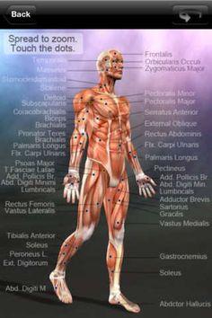 Learn Muscles