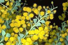 Acacia cultriformis, knife leaf acacia, small tree/shrub