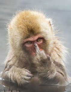The macaque was photographed at a monkey park in Japan when, disturbed during his morning bath, he pulled the middle finger while giving an angry glare