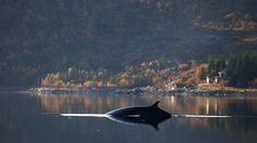 After Escaping Whaling Ships, One Whale is Changing Norwegian Attitudes on Whale Meat