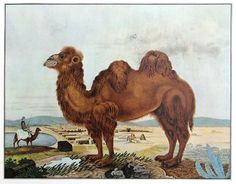 Watercolor painting of a camel by Aloys Zötl.