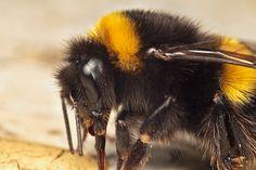 bumblebee insect - Sök på Google