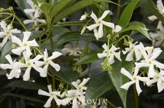 Star Jasmine (Trachelospermum jasminoides). I am obsessed with this smell. I am thinking of trying to keep it alive inside this winter since it is not winter hardy in my zone.