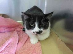 My name is TRUFFLES.    I am a spayed female, black and white Domestic Mediumhair.    The shelter staff think I am about 2 years and 2 months old.