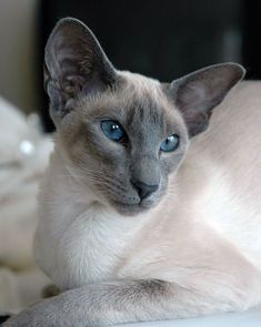 Bluecrow. Tom. Warrior. Mated to Emeraldstreak. loves to tell stories to kits. Serves his clan well and mentors. Littermates to Shadowpelt and Brightfaith. Father of Windpaw. #SiameseCat