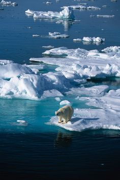 Polar bear on the island of Spitzbergen in northern Norway • photo: Exodus Travels on Flickr