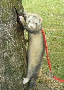 Now You Tell Me.  Ferrets Can't Climb Trees.