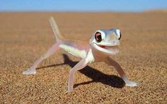 Palmato Gecko in the Namib desert - #etologiarelazionale - The ethology of emotions and empathy