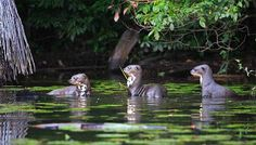 Creada oficialmente en 1990, comoZona Reservada Tambopata – Candamo, se ubica al Este y al Sur de Puerto Maldonado. Se compone de 1,5 mil...