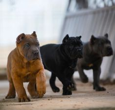 Ideas dogs and puppies breeds cane corso Chien Cane Corso, Cane Corso Mastiff, Cane Corso Dog, Cane Corso Puppies, Mastiff Dogs, Cane Corso Italian Mastiff, Italian Mastiff Puppies, Big Dogs, Cute Dogs