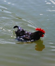 Swimming chicken