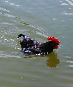 Swimming chicken