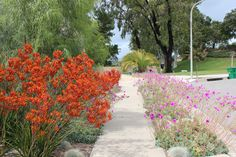 Beautiful gardens don't have to be thirsty or high maintenance. These Calandrinia and Kangaroo Paws couldn't be easier - or more water efficient.