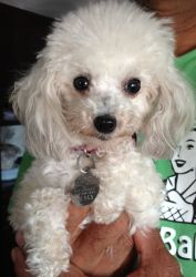 JUDY- Tiny Toy is an adoptable Poodle Dog in Somerville, MA.  Judy is an adorable 3 pound tiny toy poodle who is sweet, yet very shy. She came from a breeder who wanted to make sure she went to a lovi...