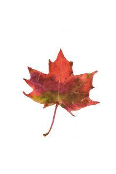 maple leaf, watercolor olgainoue.com