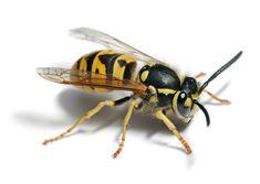 Avispa Curriculum Vitae Insects Bugs Wasp