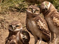family of Burrowing Owls (Athene cunicularia) in Dakota, USA. Photo by Chris