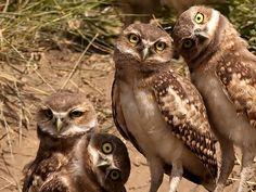 family of Burrowing Owls (Athene cunicularia) in Dakota, USA. Photo by Chris