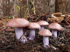 Lepista nuda - čirůvka fialová Mushroom Fungi, Stuffed Mushrooms, Miniatures, Vegetables, Nature, Ideas, Fungi, Mushrooms, Stuff Mushrooms