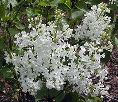 Betsy Ross French Lilac - Syringa-White & Very Fragrant