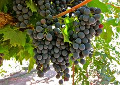 Montepulciano d'Abruzzo:  Ripken Vineyards; Mokelumne River AVA