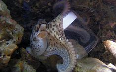 Otto the octopus wreaks havoc An octopus has caused havoc in his aquarium by performing juggling tricks using his fellow occupants smashing rocks against the glass and turning off the power by shortcircuiting a lamp. This is one very smart octopus Plural Of Octopus, Fitness Gifts, Cool Gadgets, Fun Facts, Aquarium, Amazing, Turning, Hermit Crabs, Rocks