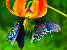 amazing and colorful - Butterflies Wallpaper ID 357510 - Desktop Nexus Animals