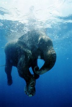 The Scoop: Ancient Elephants Lived in Water!