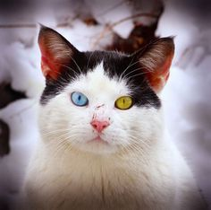 DailyFresher.com | Positive Entertainment: heterochromia in cats and dogs