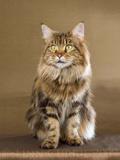 Maine Coon - The Maine Coon is one of the most popular breeds at show tables. This shaggy feline shares its affection with the entire family, but elects a single person as its beloved owner. The breed sports four color classes: solid, tabby, tabby with white and particolor.
