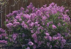 Reblooming lilac (Syringa 'Bloomerang') --- fragrant flowers in May, then a few more in July, August, and September!