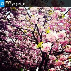 #Repost from @yogini_z with @repostapp #mindfulfilter #mindful #spring Try noticing all the colors in the image. It's mostly pink, but the patches of green and blue really stand out when you focus on them.