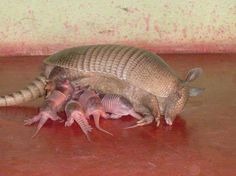 Science Discover armadillo not sure how I feel about this critter. Cute Baby Animals Animals And Pets Funny Animals Wild Animals Beautiful Creatures Animals Beautiful Photo Animaliere Tier Fotos Fauna Armadillo, Nature Animals, Animals And Pets, Wild Animals, Beautiful Creatures, Animals Beautiful, Cute Baby Animals, Funny Animals, Animal Original