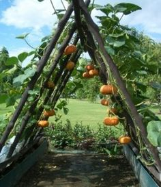 Trellis for pumpkins