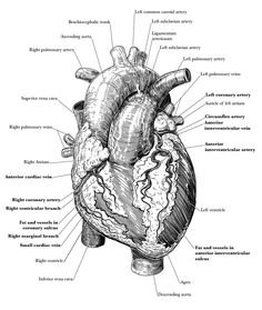 Illustration intended as an overview of the basic gross anatomy of the heart, including chambers and vasculature. © 2016 Matthew Crotts and Augusta. Human Skeleton Anatomy, Human Anatomy Art, Anatomy Drawing, Medical Posters, Medical Art, Medical Quotes, Heart Illustration, Medical Illustration, Heart Diagram