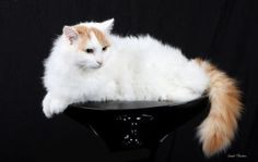 The Turkish Van cat is a large, longhaired cat often called the Swimming cat. This guide provides facts about its characteristics, personality, health and stunning cat photos.