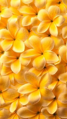Обои wallpapers iPhone plumeria плюмерия