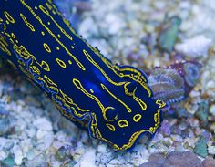 nudibranchs - Google Search