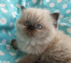 Adorable Himalayan Kitten! My Podgie should look just like this in a week or two... She's waddling around now!