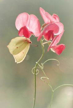 A beginner's guide to garden photography sweet pea: Delicate twining vine. It can get aggressive and Sweet Pea Flowers, Beautiful Flowers, Simply Beautiful, Yellow Flowers, Bloom, Dame Nature, Flora Und Fauna, Magic Garden, Deco Floral