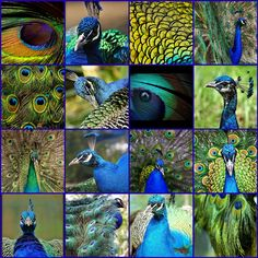 LOVE this collage...love peacocks