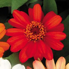 """Zinnia 'Profusion Fire' - This variety would certainly add some sizzle to a garden. Plants form a small bush 12"""" high and 15"""" across."""
