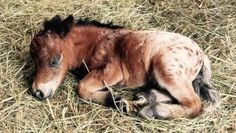Miniature Horse Gives Birth To The Smallest Pony Ever Recorded Tiny Horses, Cute Horses, Horse Love, Beautiful Horses, Pretty Horses, Horse Girl, Animals For Kids, Cute Baby Animals, Animals And Pets