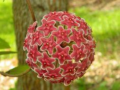 Plantas surreais - hoya pubicalyx